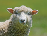 Pregnancy Toxemia (Ketosis) in Ewes and Does – 1.630